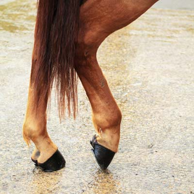 Horse Ligament Stem Cell Therapy