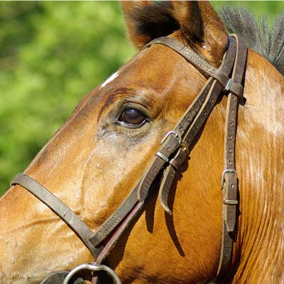 Stem Cells For Equine