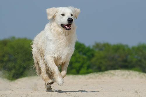 Stem Cell Therapy For Canine Osteoarthritis